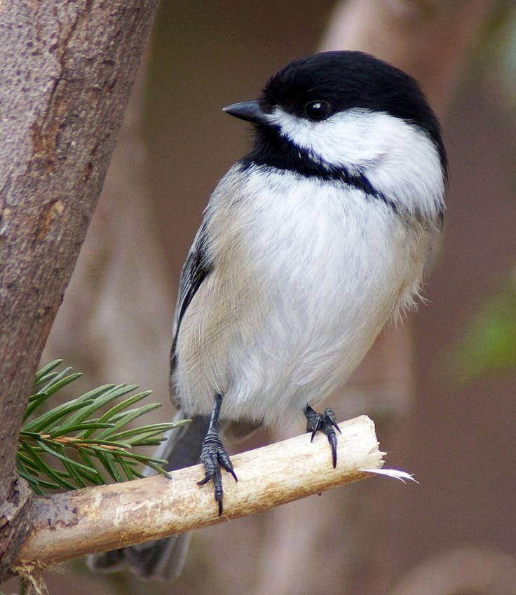 41 Best My Work With Smith Tracey Images On Pinterest: 41 Best Black Capped Chickadee Images On Pinterest