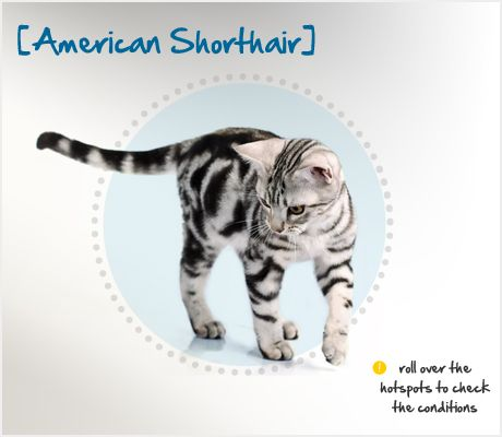 The American Shorthair — not to be confused with the Domestic Shorthair — shares her story with that of many Americans, as she came here to the United States on the first boats from England.