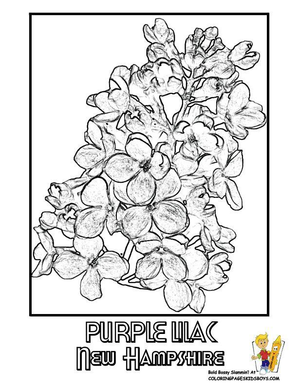 New Hampshire State Flower Coloring Page Purple Lilac Usa Flower
