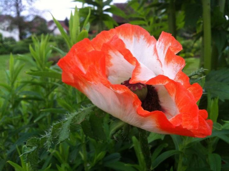 Papaver orientale Pinnacle | lautrejardin - Plantes vivaces
