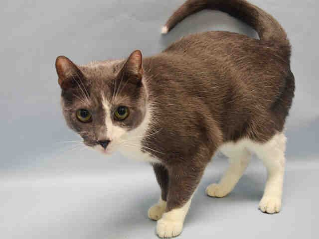 MANOLITO - A1091766 - - Manhattan  ***TO BE DESTROYED 10/14/16*** MANOLITO'S OWNER DIED…AND NOW THIS SUPER AFFECTIONATE BOY WILL DIE TOO WITHOUT RESCUE!!   He's 8 years old, NEUTERED and AVERAGE RATED! MANOLITO was said to love being picked up and held.  He was soliciting attention and loved every minute of it at the shelter. He's all set to go into most any household! Offer to FOSTER OR ADOPT this guy  now before the clock strikes noon… he nee