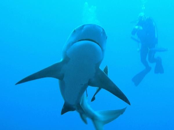 Diving with the Sharks. Protea Banks, Shelly Beach, KZN Photo by Karen Tredger, African Dive Adventures