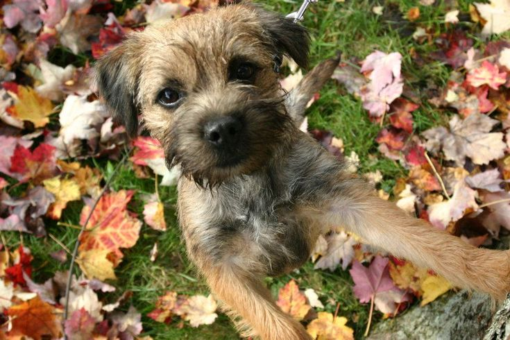 Lucy, our Border Terrier