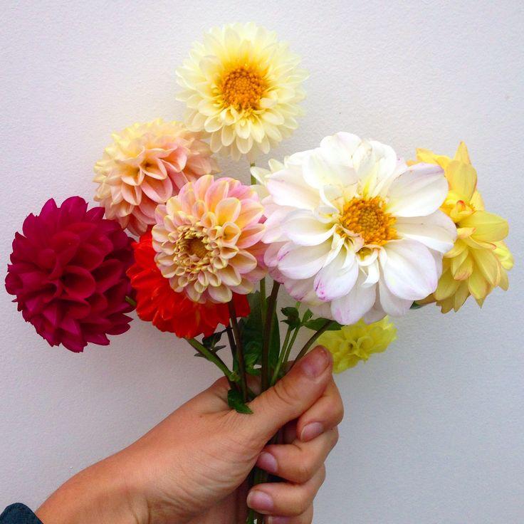A handful of homegrown Dahlias