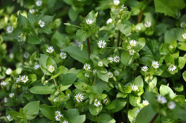 Chickweed, an edible plant to forage and cook with our kitchen essentials