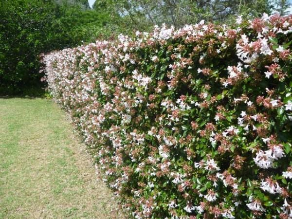 Abelia Hedge shrub 2 x 2m sun for half a day  - can shear it heavily, or let it grow out with arching branches and with light pruning.  Flowers spring and summer.: