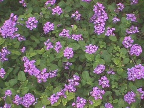 Purple and White Trailing Lantana (Lantana montevidensis), a good nectar plant that does not show as many invasive tendencies as its cousin Lantana camara. Find it throughout the gardens. (Photo via Dave's Garden)