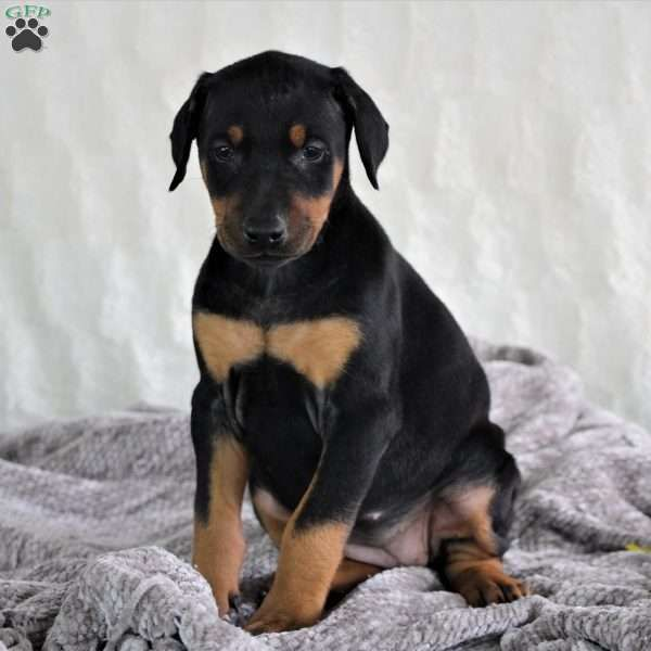 Haven Doberman Pinscher Puppy For Sale In Ohio Fluffy S