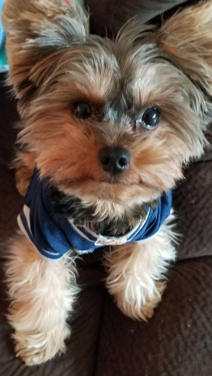 My Teddy Bear Watching The Football Game So Cute Yorkshireterrier Yorkshire Terrier Yorkie Terrier Yorkie Puppy
