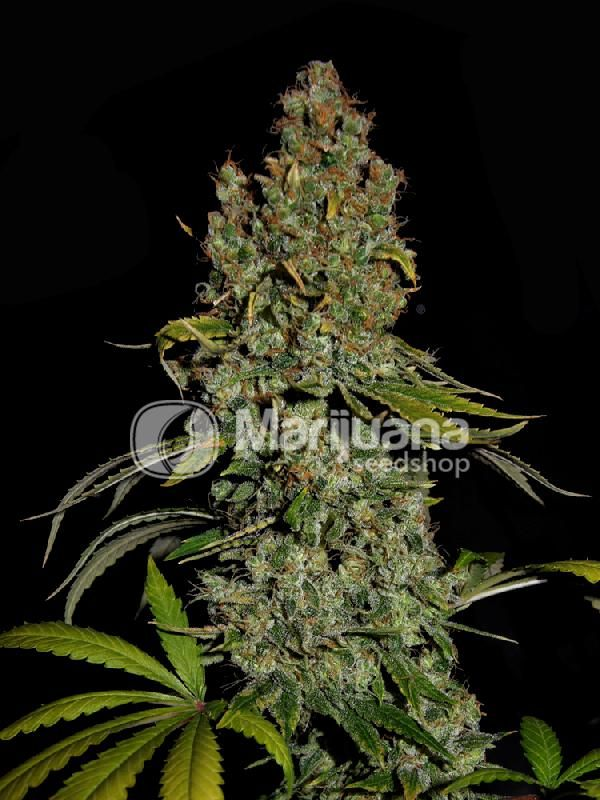 Buy Head Cheese Feminized seeds online at the Marijuana Seedshop. Yield up to 750 grams a square meter! Head Cheese Feminized marijuana seeds are 60% Indica and 40% Sativa. Head Cheese Feminized buds will have eventually 26% THC and 0.68% CBD. these Head Cheese Feminized seeds has a flowering time of 10 weeks.