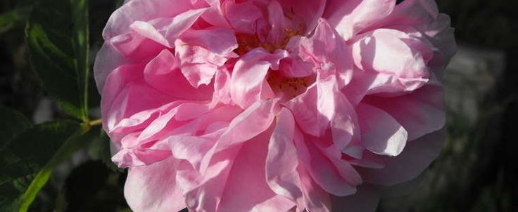 Rosa   Damask Rose 'Autumn Damask' Rosa  Damask Rose 'Autumn Damask' Additional info: (aka Alexandrian Rose, Bifera, Rose des Quatre Saisons, Four Seasons Rose, Old Castilian)