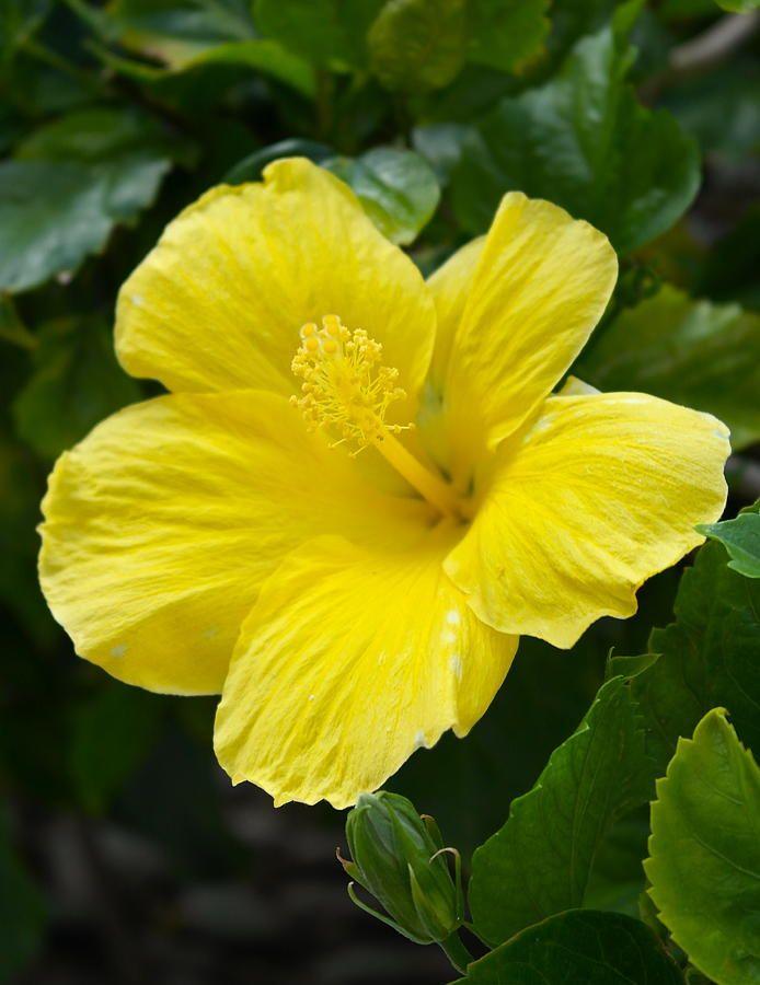 #Waikiki Yellow Hibiscus