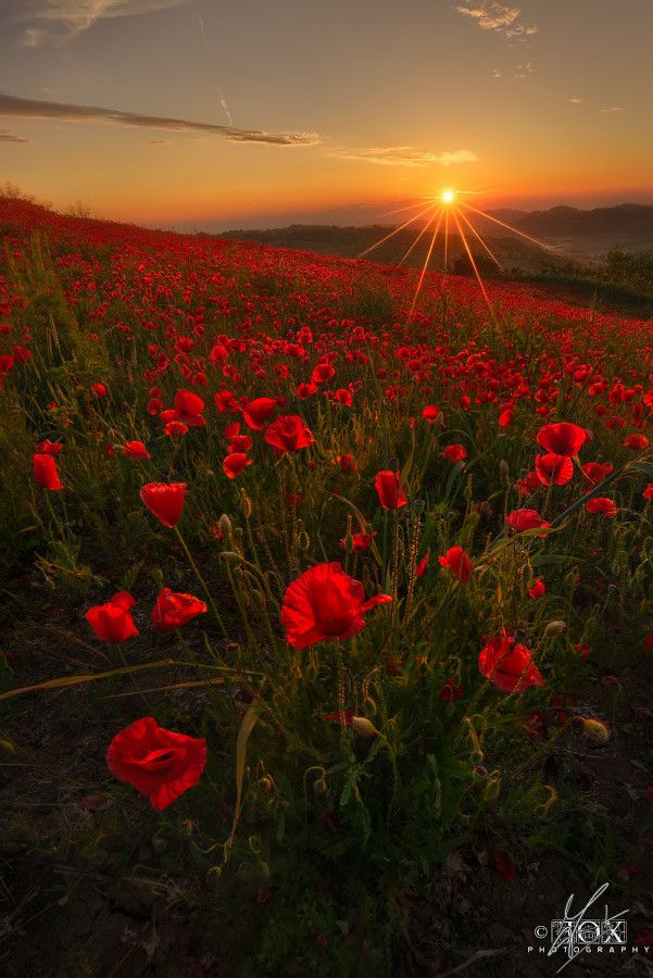 Scarlet Fields by Enrico Fossati ~~A papaver field taken at the last moments of the sunset on Colli Tortonesi Piemonte Italy Alessandria