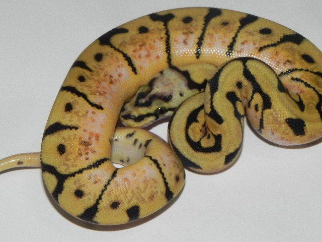 Snakes at Sunset - Bumble Bee Ball Python for sale  (Python regius), $119.99 (http://snakesatsunset.com/bumble-bee-ball-python/)