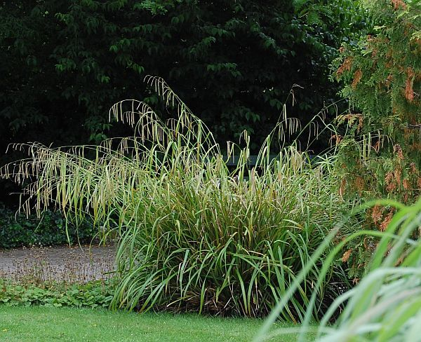 Carex pendula gr ser pinterest search for Oriental grass for shade