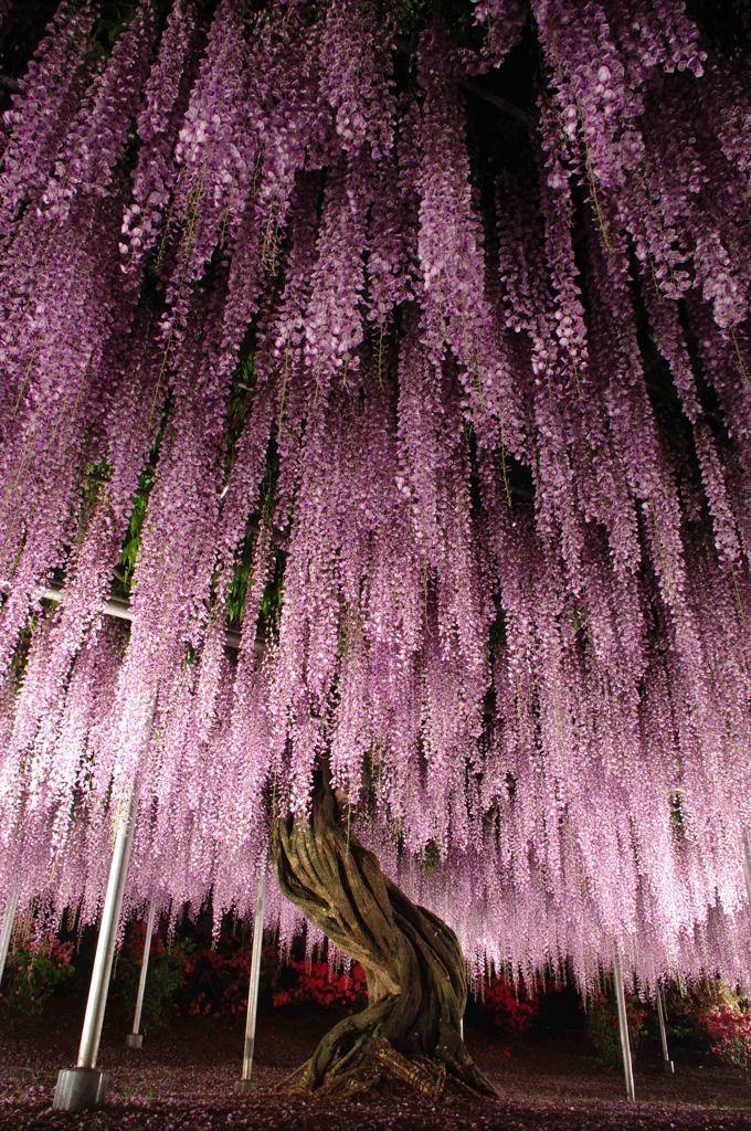 フジの木 Wisteria tree at Ashikaga Flower Park, Japan 足利フラワーパーク 細かな花が密集、物量、迫力を持った美しさ