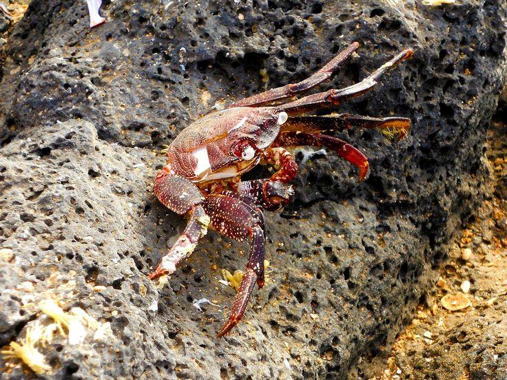 Cap Vert - Crab