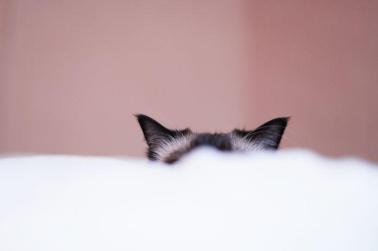 Detta är det första jagser när jag vaknar om morgnarna. Två små öron som sticker upp ett par mjuka täckensfjäll bort. Tur att han är en gäspig katt så att jag hinner upp och hämta kameran för att …