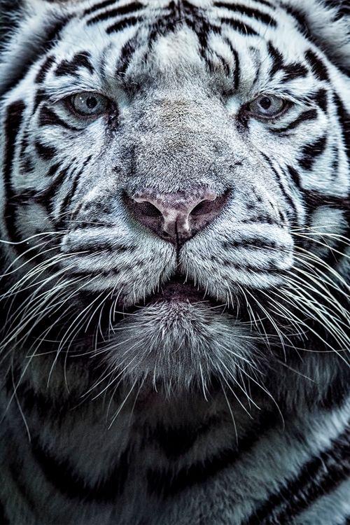 #photography #White #Tigre by David Guéret...