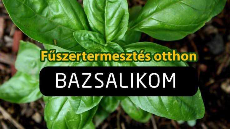 Fűszertermesztés otthon - a Bazsalikom