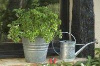 Légumes et potager - La culture du persil en pot