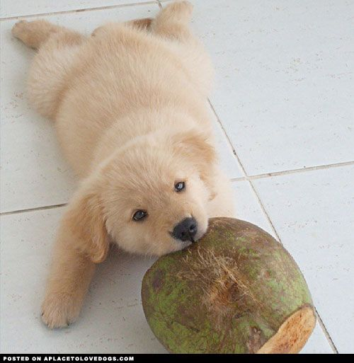A dog and her coconut