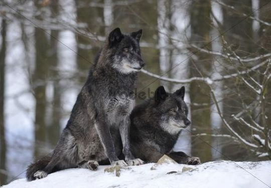 Mackenzie Valley Wolf, Alaskan Tundra Wolf or Canadian Timber Wolf ...