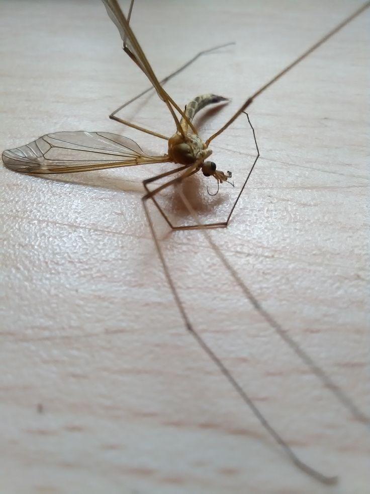 komár/culicidae (u nás)