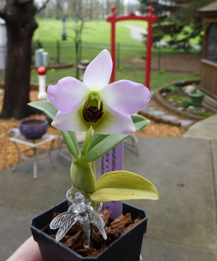 """Dendrobium Trantuanii Andy's: Miniature to small-sized species from Vietnam. Light silver/green sulcate pseudobulbs produce several 1.5"""" flowers. Beautiful, fragrant, waxy and long-lasting! Easy to grow and flower. The flowers are colored in pink with white center overlayed in green and have a dark burgundy, mahogany lip."""