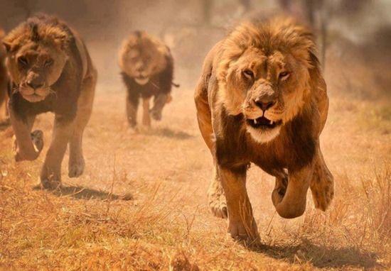 Lions running | Geek Slop