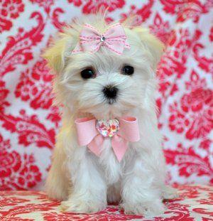 teacup puppies :)