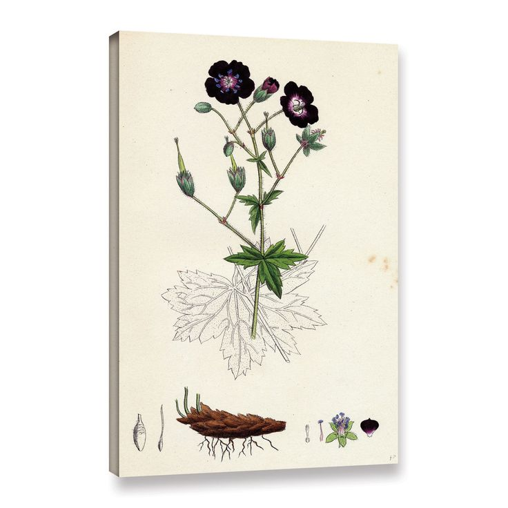 ArtWall Bridgeman Geranium Phaeum Dusky, Gallery Wrapped Canvas