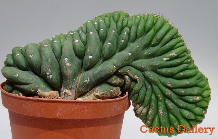 Trichocereus pachanoi crestado