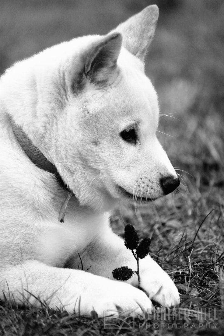 best dogs images on pinterest adorable animals akita and