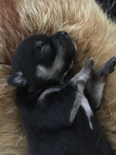 Reduced price $1250 from $1,500 Purebred chihuahua puppies 2 boys and 4 girls both parents have great natures, mum is short haired and dad is long haired. very fine boned chihuahuas looking for only the best of homes, they were born on the 2nd of may 2016 and will be 8 weeks on the 27th of june and ready to go to there new homes vacc, vet checked. microchipped - https://www.pups4sale.com.au/dog-breed/408/Chihuahua.html