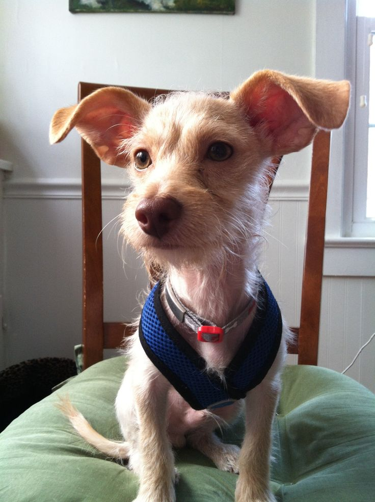 Jasper the Brave! He's a 5 month old rescue - Chihuahua Terrier mix.
