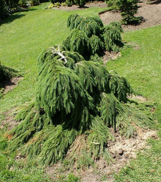 Picea abies Formanek (2) by KarlGercens.com, via Flickr