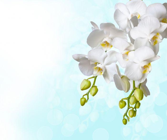 Desktop wallpaper Flowers: Orchids, White, Background - free download. | Desktop-on-stol.com