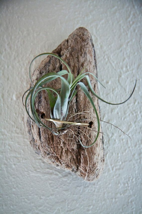 Air plant holder made from Northern California costal beach Drift wood and copper metal accents. Holder includes pictured air plant ( or comparable