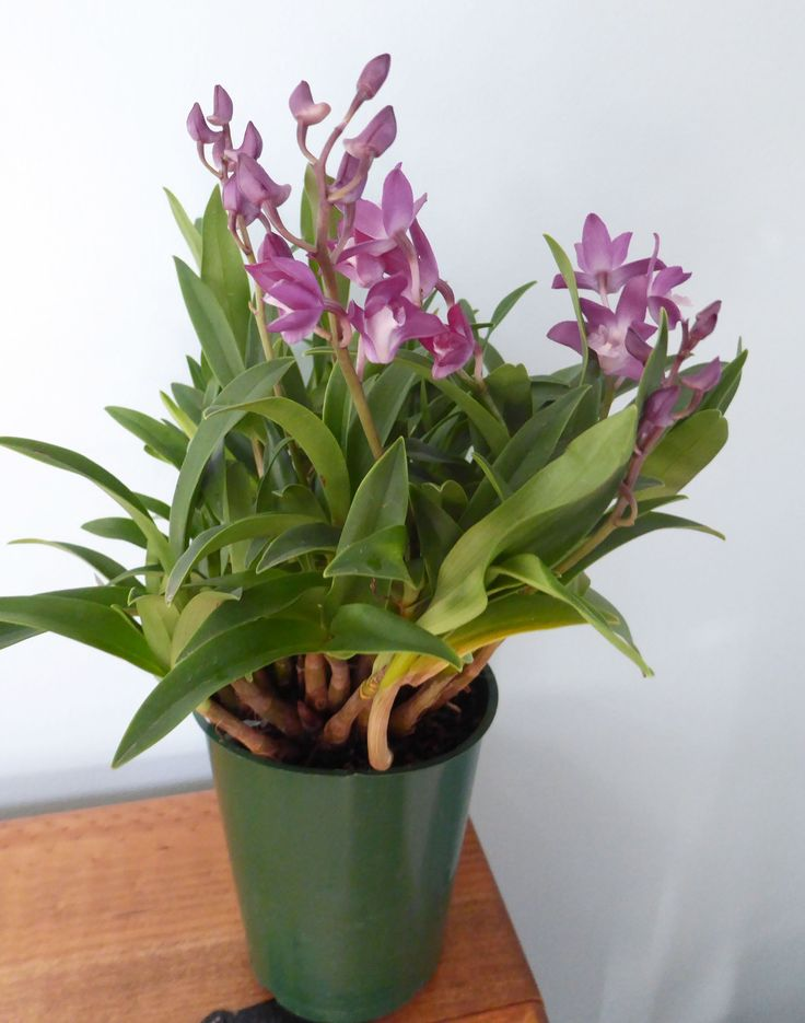 """Dendrobium kingianum is a very common species in Australia.  This one is called """"White Lip""""."""