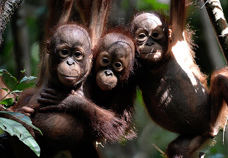 That's more than the number of the critically endangered species remaining. The orangutans have been hit hard by deforestation and hunting. The animals are native to the island.