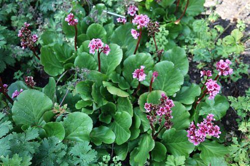 "Fläche A | Bergenia cordifolia ""Morgenröte"" ___ wintergrün ___"