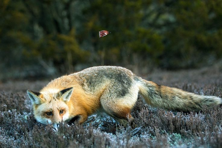 A Fox and a Leaf by JH Atala https://500px.com/photo/212489667/a-fox-and-a-leaf-by-jh-atala?ctx_page=2&from=popular #fox #animal #nature
