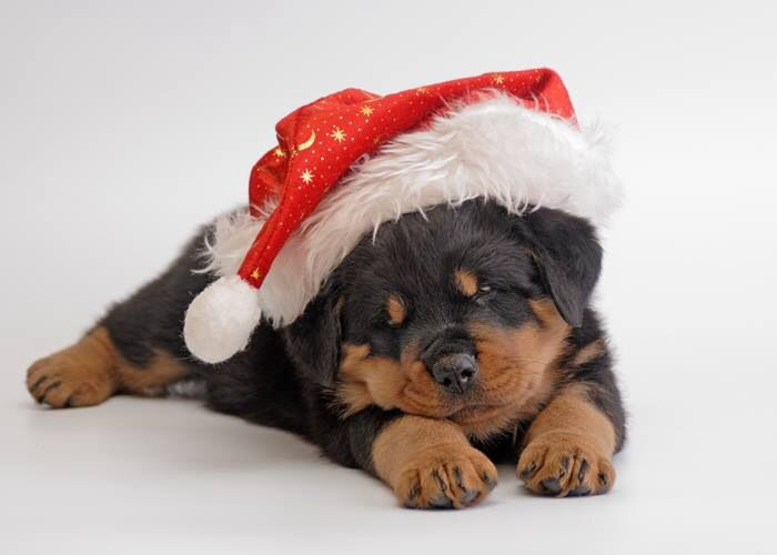 Rottweiler christmas pup best present ever