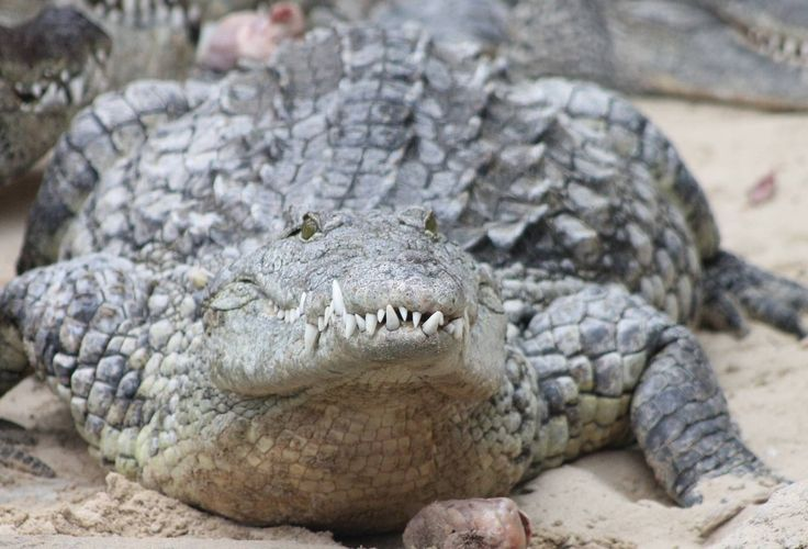 621 Best Images About Crocodiles,Alligator,Dinner Time