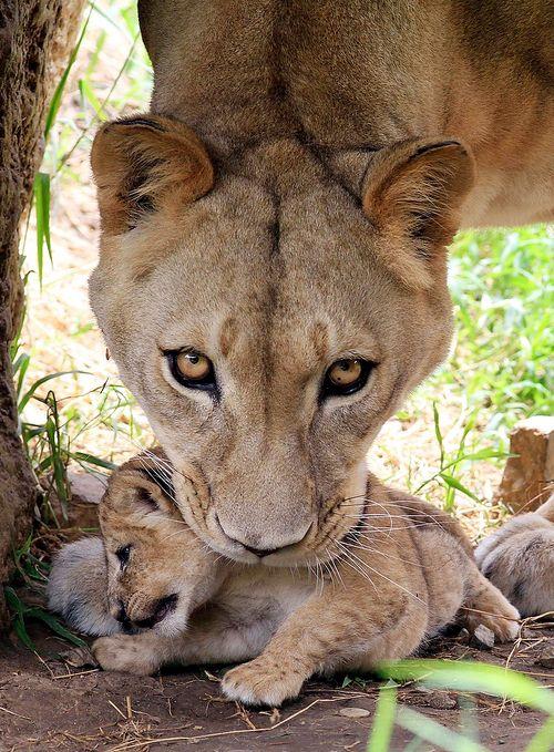 phototoartguy:    A female lion, Lemon, picks up one of her three cubs at the Cali Zoo  REUTERS/Jaime Saldarriaga