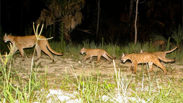 Panthers roam in rural Collier County, in southwest Florida. On The Rebound, Panthers Prowl Expanding Swath Of Land In Florida.