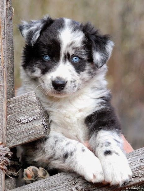 """""""Australian Shepherd Dog Breed The Australian Shepherd, commonly known as the Aussie, is a medium size breed of dog that was developed on ranches in the western United States."""" -Cute Dogs via Google Plus #Dogs #Doglovers #Cute #Kawaii"""