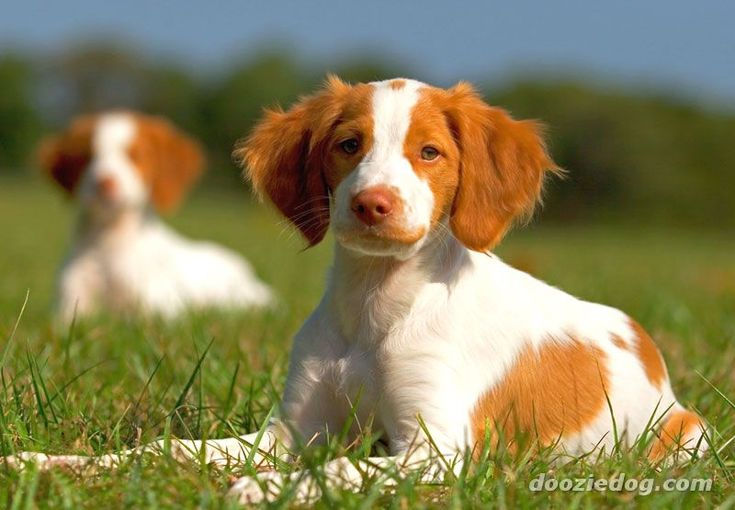 Brittany puppy. Medium size - small, energetic, sweet nature, good family dog