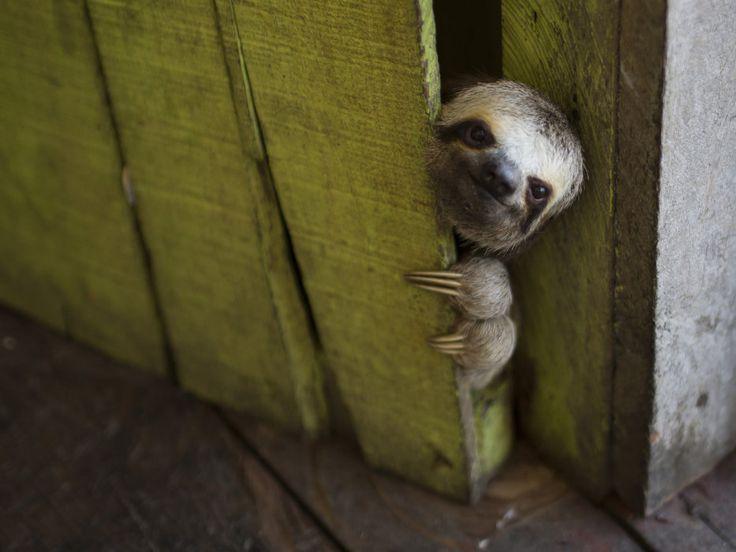 Filhote de bicho-preguiça foi fotografado em uma casa no Lago Janauari, em Manaus